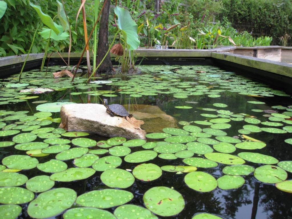 New Baby Turtle in the Lily Pond (image for Green Healing Notes, the blog)